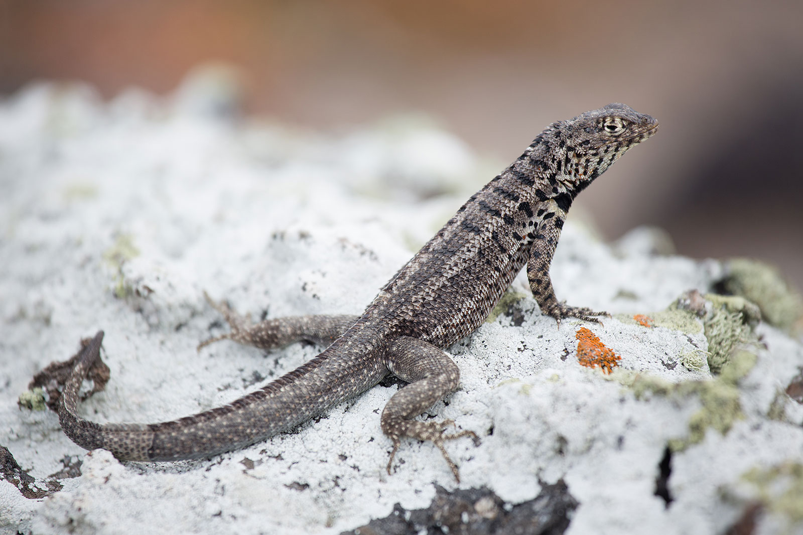 Lava_lizard