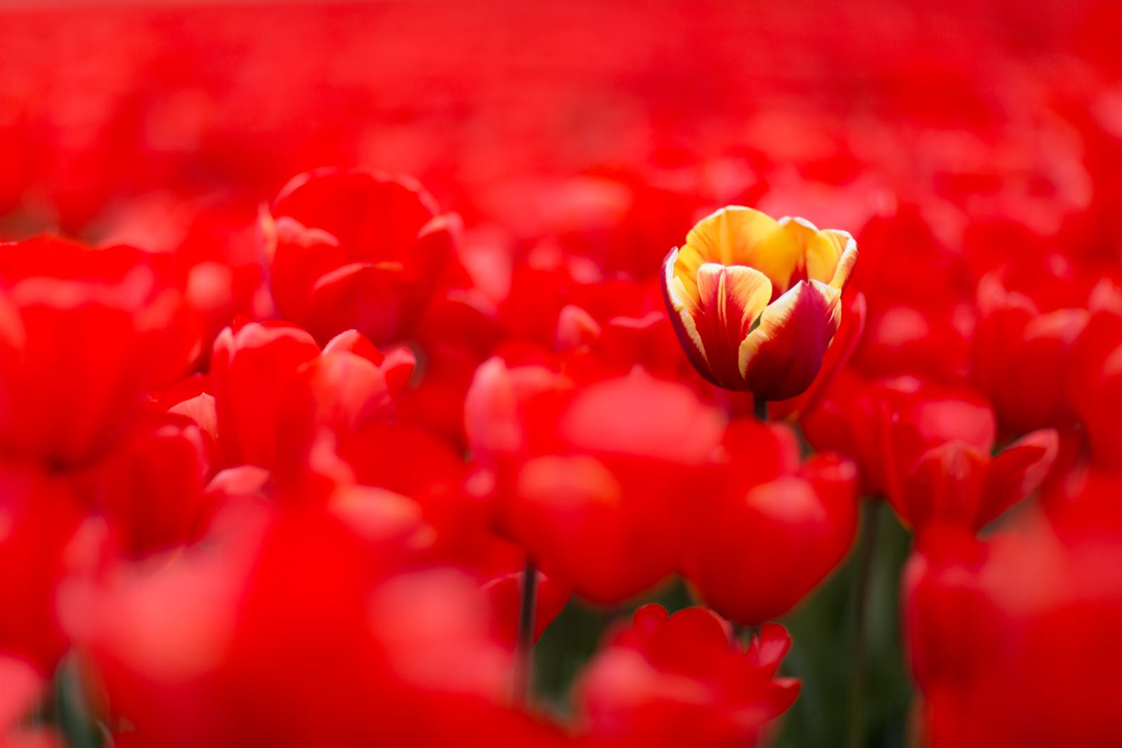 Tulpen1_website