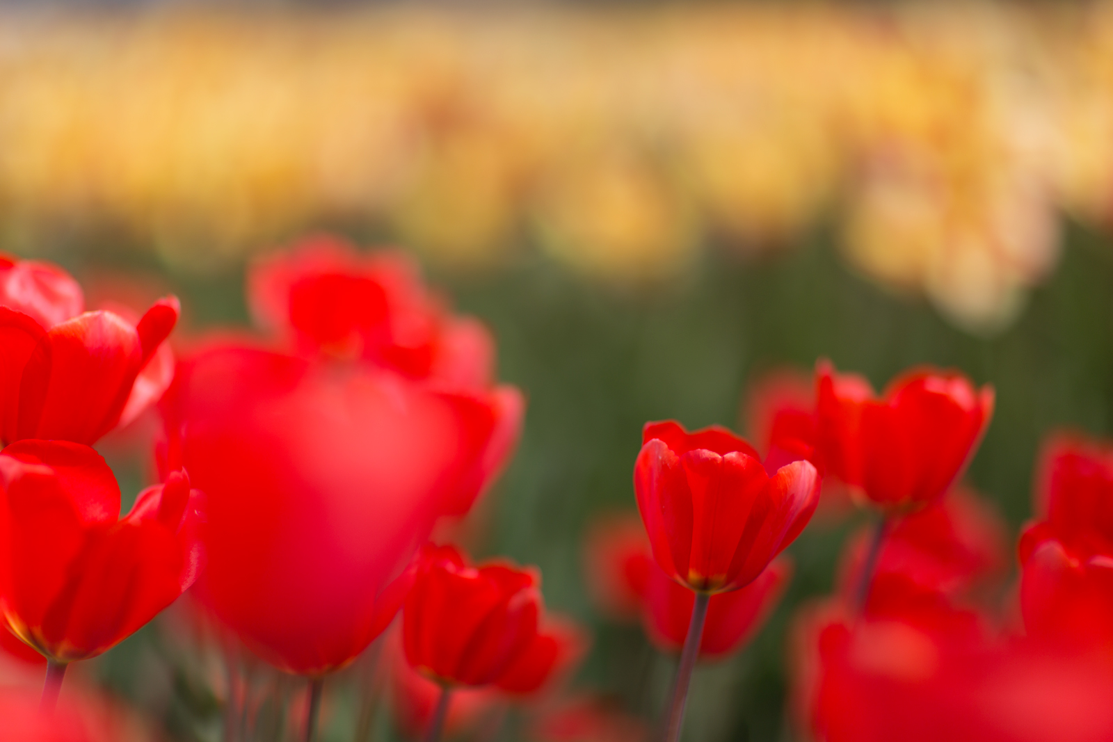 Tulpen2_website