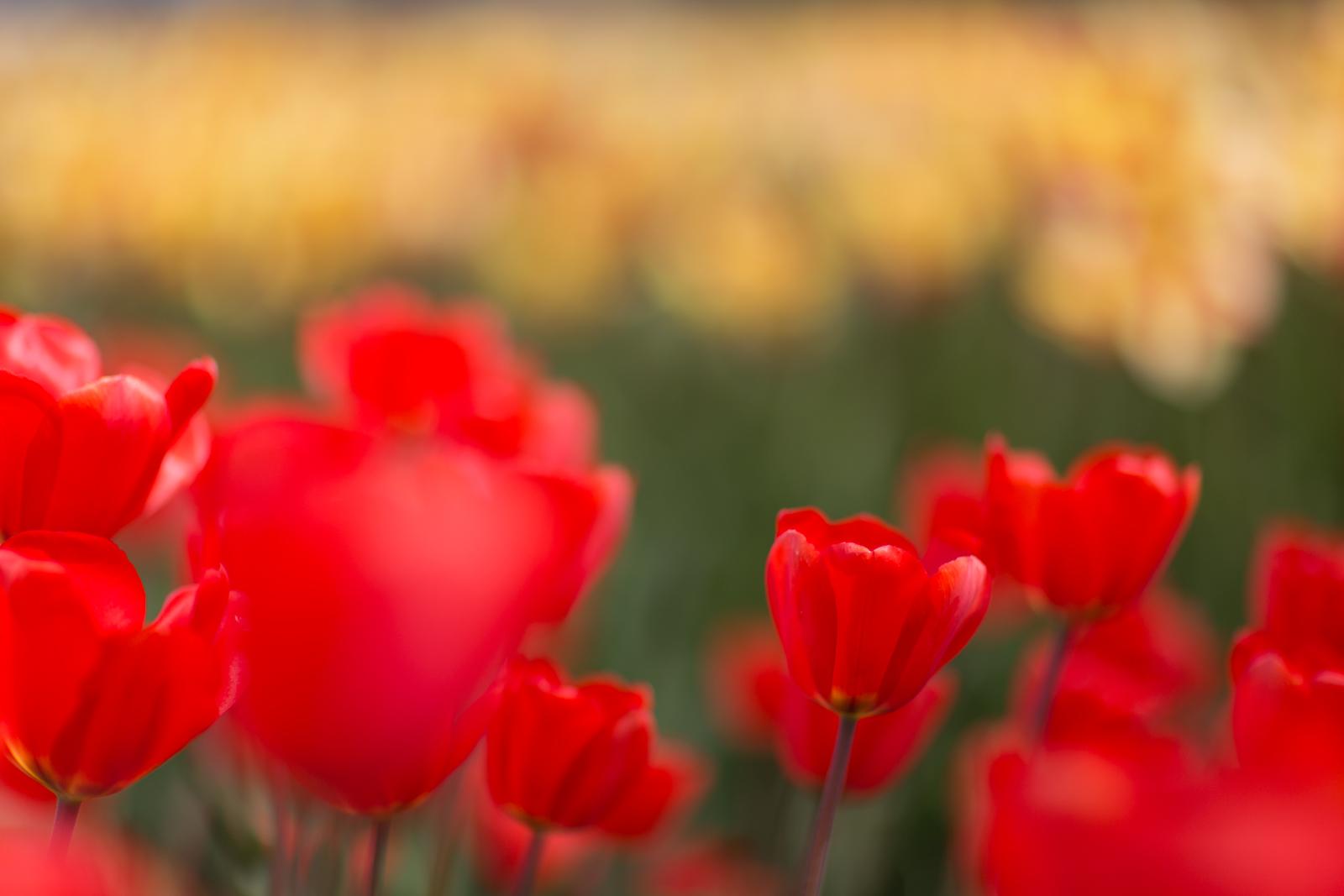 Tulpen2_website